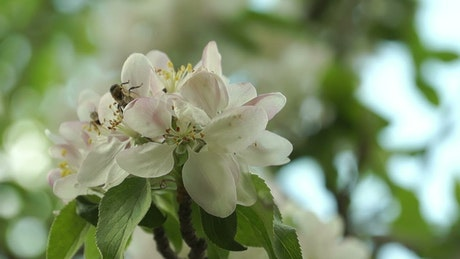 Bees pollinating white spring flowers