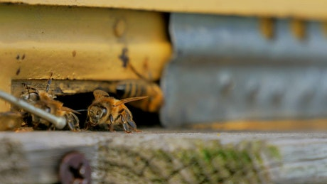 Bees seen in detail on a beekeeping farm
