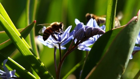 Bees working on violet flowers