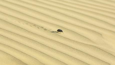 Beetle walking in the desert sand