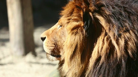 Big lion staring at the horizon