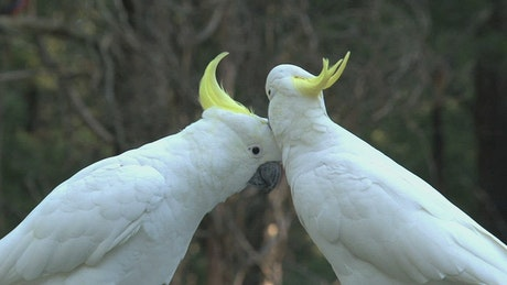 Big white birds caressing each other