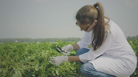 Biologist inspecting pests in the crops