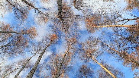 Birch trees and clouds