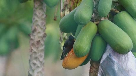 Bird eating hanging fruit