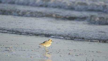 Bird eating in the beach
