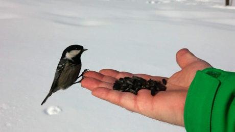 Birds feeding on a hand in the snow