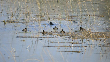 Birds floating on a pond