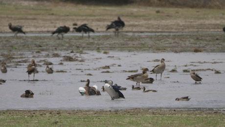 Birds in a flooded field