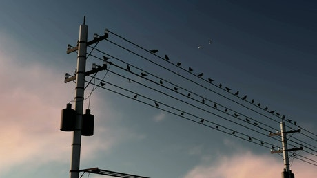 Birds on city electrical cables