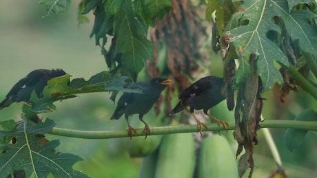 Birds singing in a tree