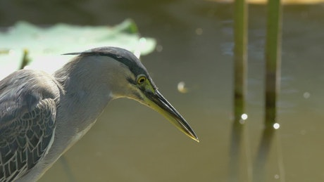 Bittern looking into the water