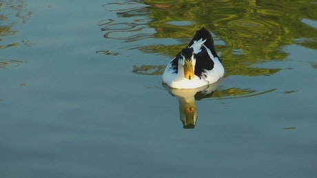 Black and white duck on the lake
