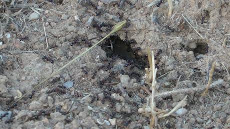 Black ants, close up