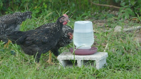 Black chickens drinking water on a farm