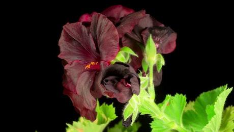Black geranium blooming
