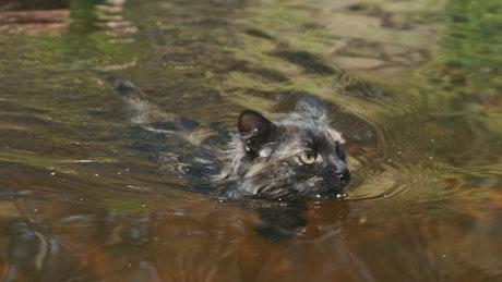 Black wild cat swimming in a river