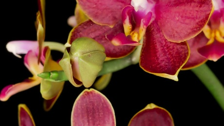 Blooming orchid in slow motion