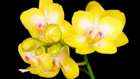 Blooming yellow orchid flower