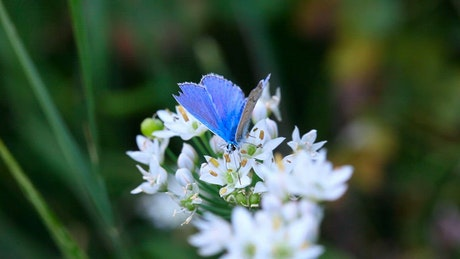 Blue butterfly over white flowers