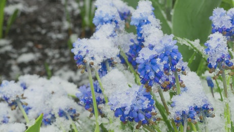 Blue flowers getting covered in snow