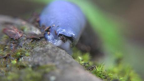 Blue slug head close up