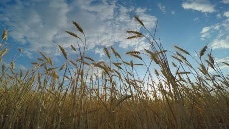 Bottom view of a golden wheat field