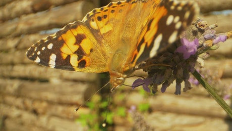 Bright Butterfly on a Lavender plant