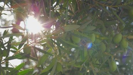 Bright light shining through an olive tree