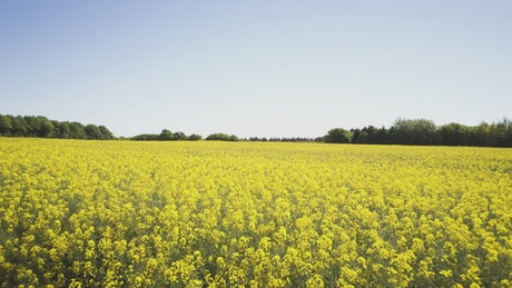 Bright yellow crops