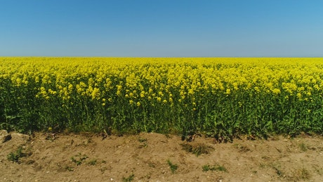 Bright yellow crops in a dry field