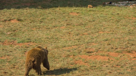 Brown bear walking