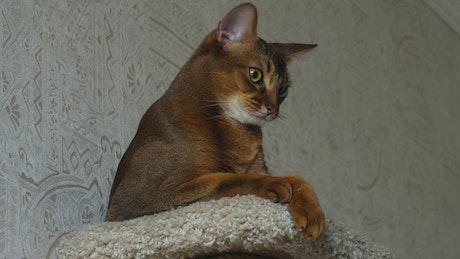 Brown cat resting