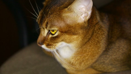 Brown cat with yellow eyes
