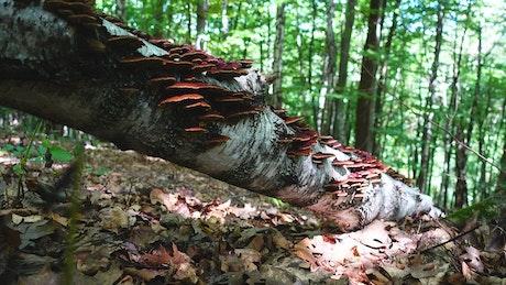 Brown mushrooms growing in the woods