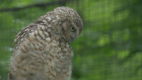 Brown owl looking around