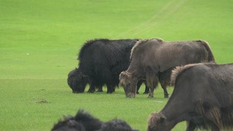 Buffalos grazing in a green valley