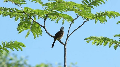 Bulbul swaying in a tree