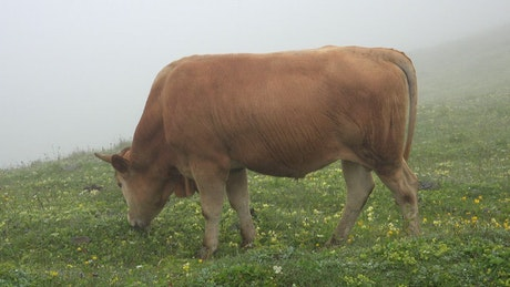 Bull grazing in a valley with fog