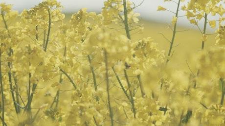 Bumblebee landing on a crop field