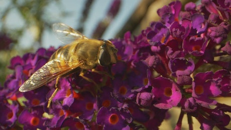 Bumblebee on a purple flower