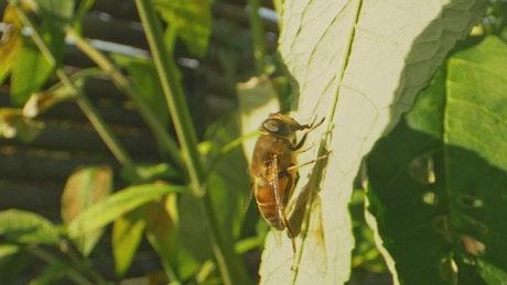 Bumblebee sitting on a leaf