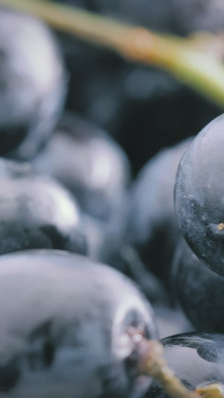 Bunch of purple grapes, close up