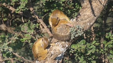 Bush squirrels in a tree