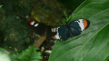 Butterflies on a green leaf