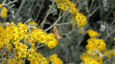 Butterfly perched on yellow flowers