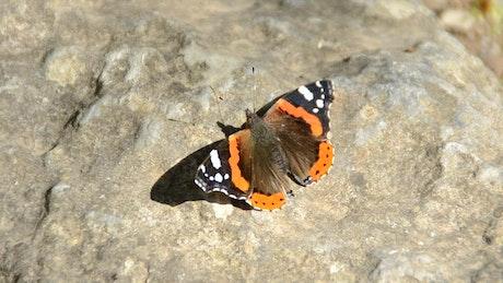 Butterfly sitting on a rock
