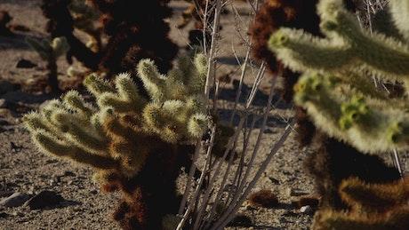 Cactus in the desert, close up