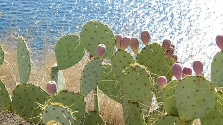 Cactuses by the ocean