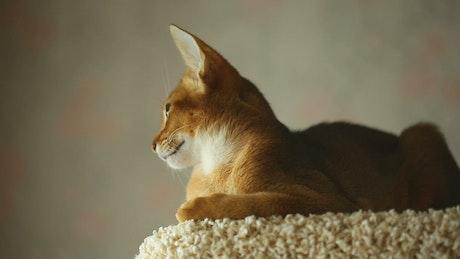 Calm kitten resting